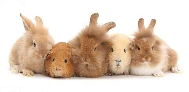 sandy_rabbits_and_guinea_pigs_bm7784